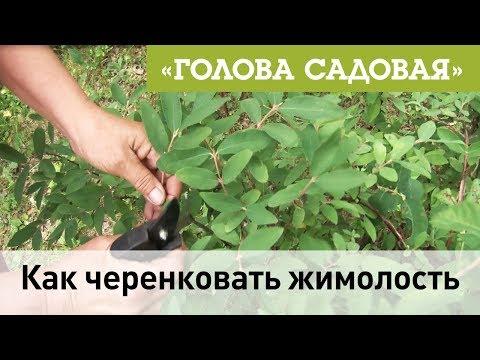 Вопрос: Как правильно вырастить жимолость из черенков?