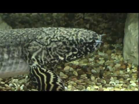 Huge ornate bichir polypterus ornatipinnis for sale at for Bichir fish for sale