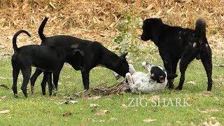 Great RuralDog!! Golden Labrador Retriever Vs Boston Terrier Mix In...