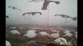 Chasin the Snow storm-Snow goose hunting PA 2011