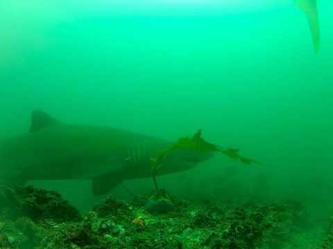 Rabbitfish Feeding On Transplanted Kelp With One Brief Interruption