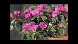 Азалия комнатная Декоративный кустарник .Уход за ним(Аза́лиями называются некоторые красивоцветущие рододендроны. Цветки азалии обычно розовые, но существуют..., 2014-05-25T19:32:15.000Z)