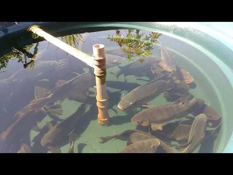 Tilápias em caixa d`água - Após 1 mês como estão os alevinos