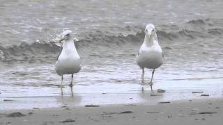 Pair-bonding behaviour between Herring Gull and Lesser Black-backed Gull- 20151107