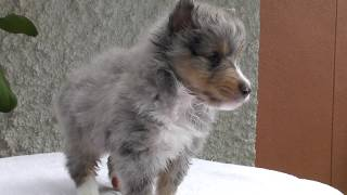 https://passerellewan.jp/puppies/?type=58.