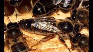 Якість бджоломаток. ( 23.04.2018р.)
