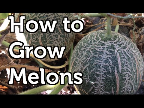 How To Grow Melons Vertically In Colder Climates Youtube