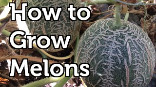 How to Grow Melons Vertically in Colder Climates