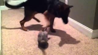 Ferret vs Puppy