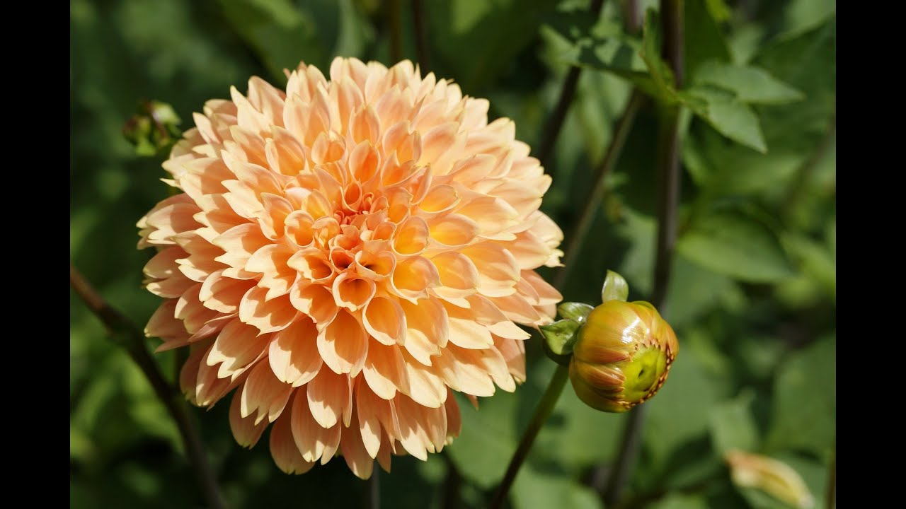 Beautiful and pretty dahlia flowers pictures youtube for Flowers that look like dahlias