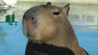 Adorable Capybara Uses His Cute Little Tongue  ハンサムなカピバラの演奏ロープ