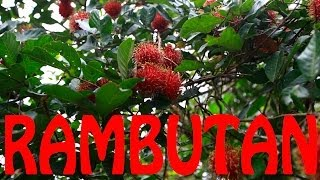 How to eat and open a Rambutan