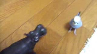 先日発情対策で用意したカバのおもちゃに慣れてしまったぴのこ。 今度は...