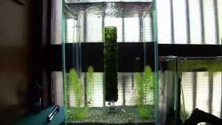 [aquarium] ウィローモスを回転させてみた 実験水槽 その4 [undergravel Filter]