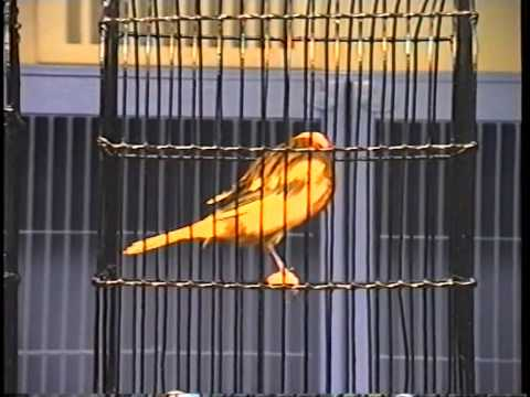 Yorkshire Canaries -- Steve Dominey 2004