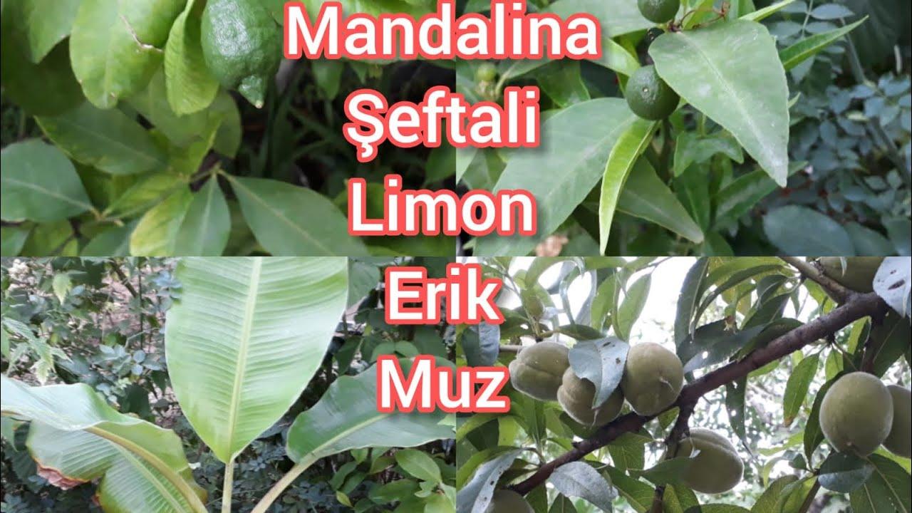 BAHÇEDEKİ MEYVE FİDANLARIMIZ COŞTU! (Limon, Mandalina, Muz, Şeftali)