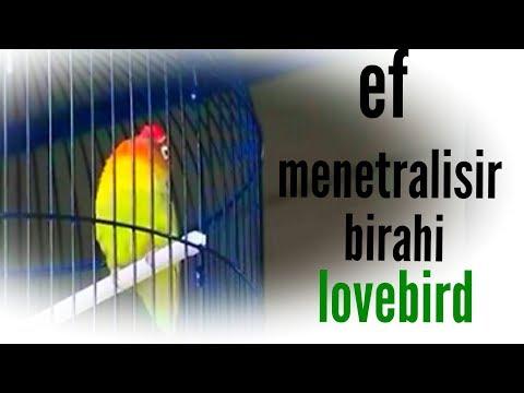 ef penurun birahi lovebird