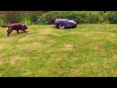 Husqvarna Automower Challenge: Dog goes crazy seeing the