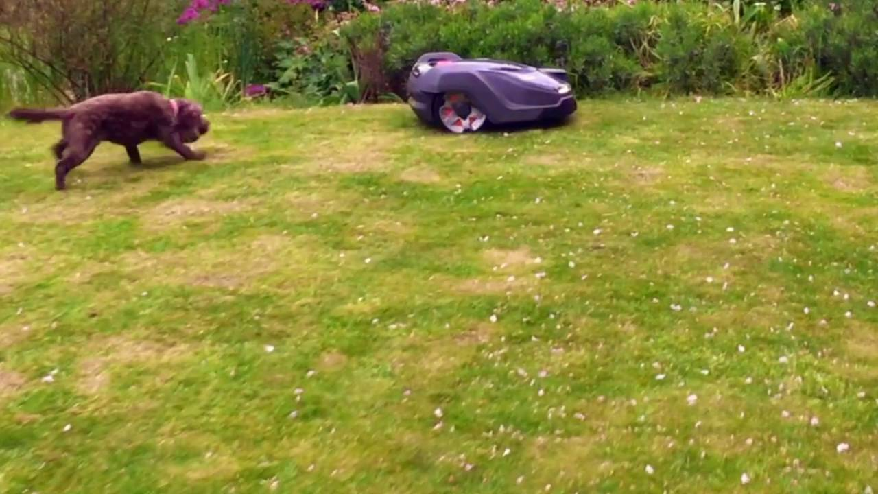 Husqvarna Automower Challenge: Dog goes crazy seeing the 450X for the first  time!