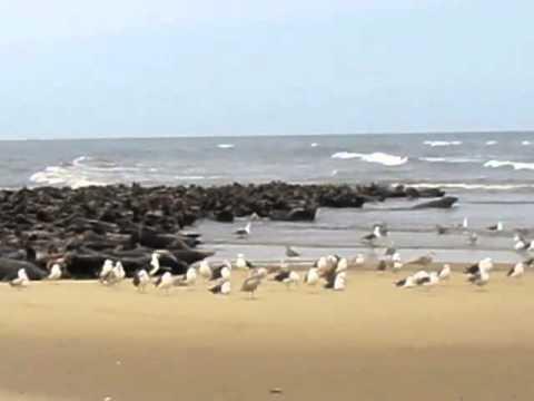 Seals on the beach, Cape Cod, MA