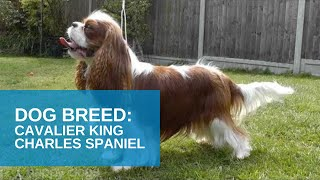 Dog Breed Video: Cavalier King Charles Spaniel