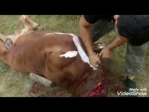Сдача бычка на мясо.Разделка тушки.