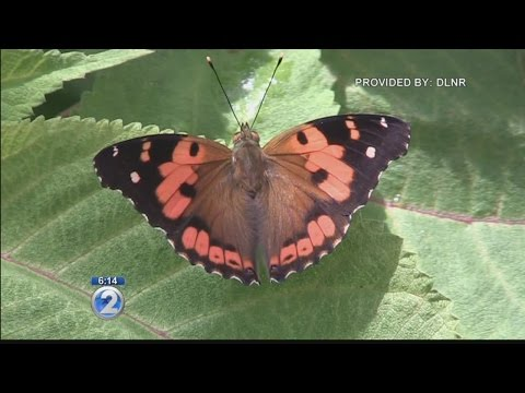 State takes steps to protect rare, endemic butterfly, snail