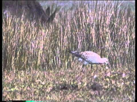 Slender-billed Curlews at Merja Zerga uncut video by Andy Butler.AVI
