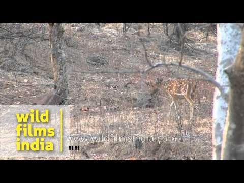 Spotted deer graze on dry summer grasses
