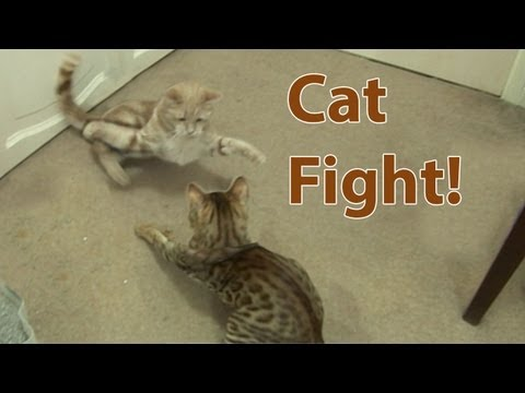 Cat Fight! Bengal Kitten introduced to Adult Cat Part3