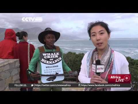 South Africa's annual Hermanus whale festival gets underway