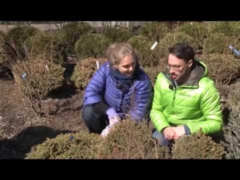 Карликовые хвойные растения. Загородные премудрости. Выпуск 3