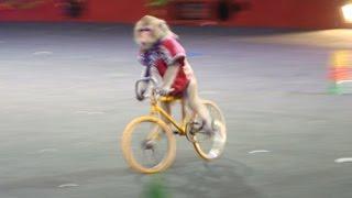Monkey Riding a  Bike...
