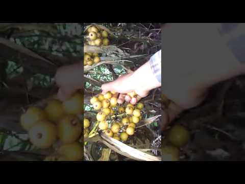 Wild fruit trees in Cambodia - ភ្លែឈើព្រៃស្រុកខ្មែរ ផ្លែសោម