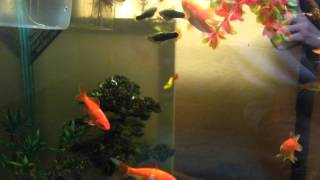 HUGE GOLDFISH! and platy tank. Morning feeding. Thumbnail