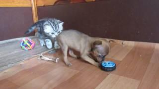 Той терьер и котенок