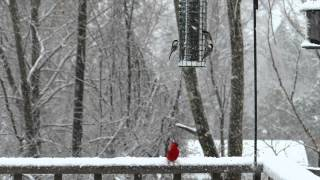 Chickadees Vie For Top Spot At Bird Feeder (slow-motion)
