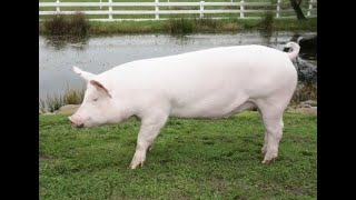 Best Housing for an Outdoor Pig | Pet Pigs