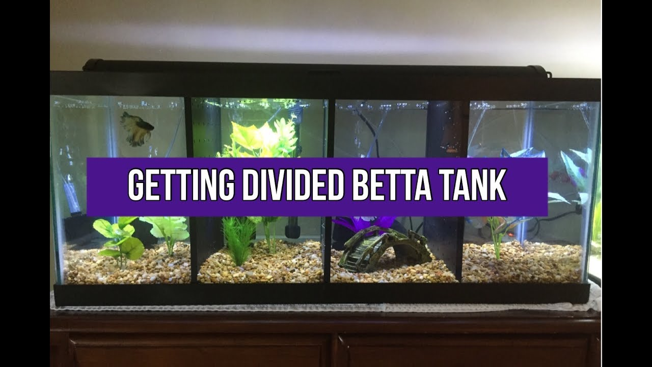 getting setting up divided betta tank youtube
