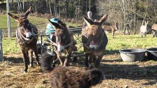 attelage d'une tonne à eau de 500 litres avec trois ânes