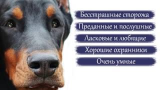 Доберман   породы собак