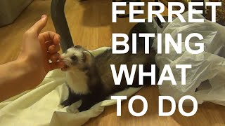 Ferret biting? What to do