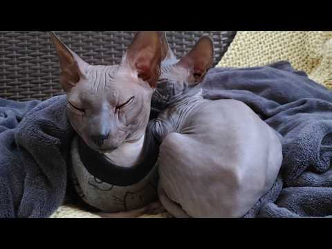 Sphynx cat father is taking a rest with his son / DonSphynx /
