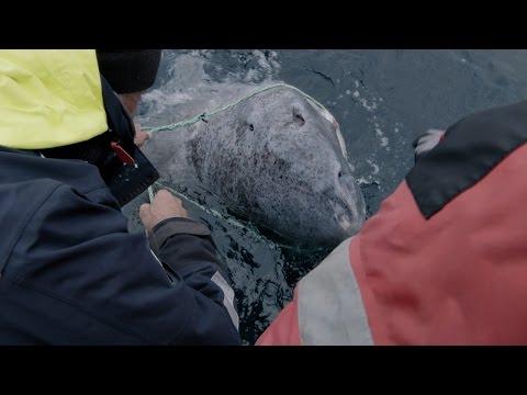 Watch Jeremy Wade Reel In A 200-Year-Old Greenland Shark In Norway