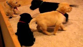 Adorable Labrador Retriever Puppies 5 Weeks Old