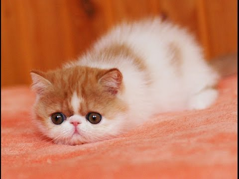 10 Friendliest Cat Breeds