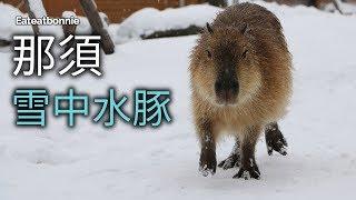 終於找到失蹤的那須雪中水豚影片了!!失蹤到我覺得我自己沒拍了哈哈總...