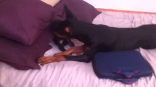 Dobermans At My Bed. Anubis & Zeus