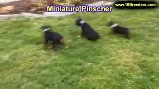 Miniature Pinscher, Puppies, For, Sale, In, Wichita, Kansas, Ks, Pittsburg, Hays, Liberal, Prairie V