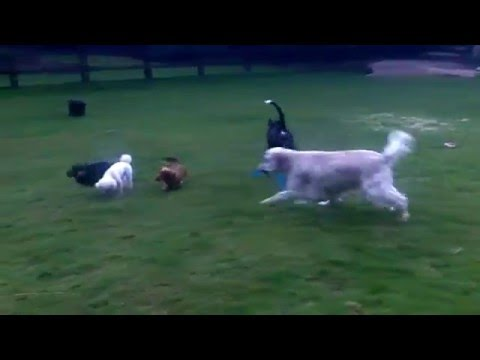 English Setter Otis losing weight with Bridie, Dug, Fin & Peppa.